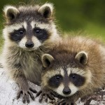 raccoon_intruder-local-records-office-deed-real-estate-home-wildlife