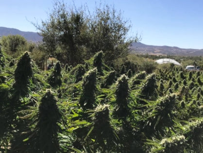 Over 12 tons of illegal marijuana seized from 2 local residents in San Diego County